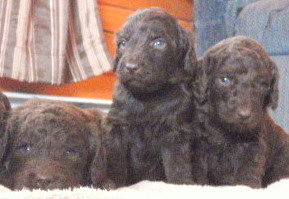 best newfypoo puppies for sale