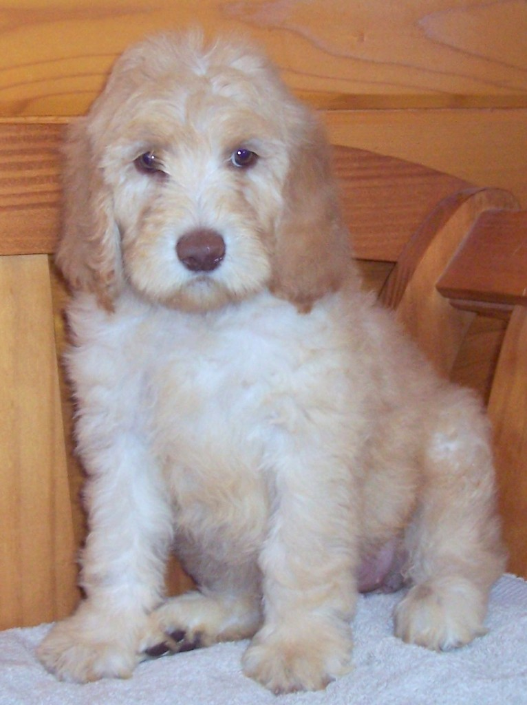 puppy3 766x1024 November Newdle Newfypoo Puppies are Here! There are some Golden Newdles in this Litter!!!
