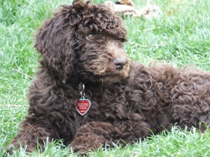 Skyler the Newfypoo Newdle at 3 months.