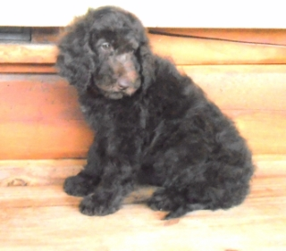 b2f 320x200 Summer Newfypoo Puppy News!