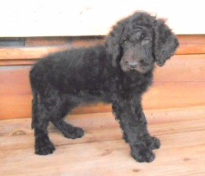 b3f 320x200 300x258 Summer Newfypoo Puppy News!