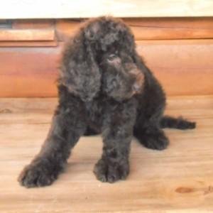 bb3f 320x200 300x300 Summer Newfypoo Puppy News!