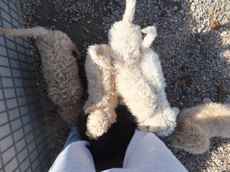 Yes we do like to eat shoelaces and sweat pants- cute newfypoo puppies from lucky day ranch