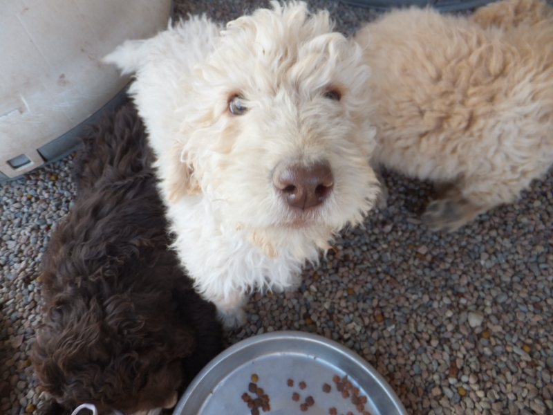 cute newfypoo puppies from lucky day ranch