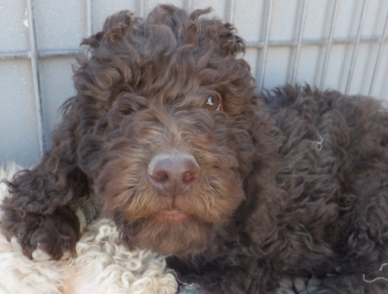 cute chocolate  newfypoo puppy from lucky day ranch
