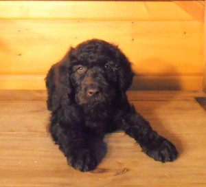 Newfypoo Puppy Female 1 Nov 2013