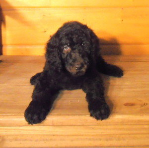 Newfypoo Puppy Female 2 Nov 2013