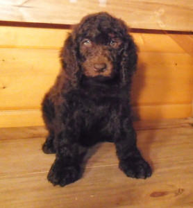 Newfypoo Puppy Female 3 Nov 2013
