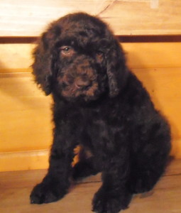 Newfypoo Puppy Female 5 Nov 2013