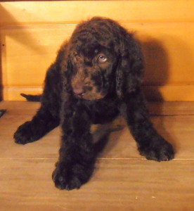 Newfypoo Puppy Male 1 Nov 2013