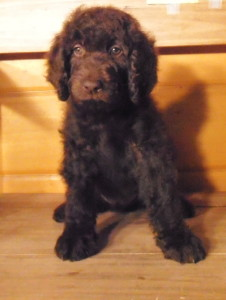 male 2 nov 2013 226x300 November 2013 Newfypoo Puppies For Sale