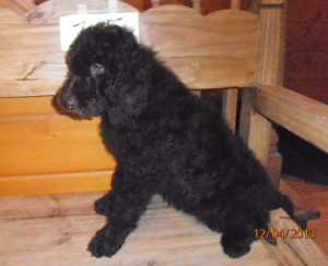 female puppy 1 300x244 Christmas/Holiday Newfypoo Puppies For Sale  Last Puppies for the year
