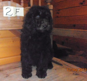 female puppy 2 300x280 Christmas/Holiday Newfypoo Puppies For Sale  Last Puppies for the year