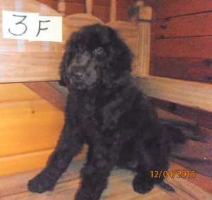 female puppy 3 300x282 Christmas/Holiday Newfypoo Puppies For Sale  Last Puppies for the year