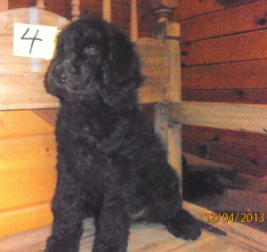 female puppy 4 300x283 Christmas/Holiday Newfypoo Puppies For Sale  Last Puppies for the year