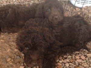 newfypoo1 300x224 August 2014 Newfypoo Puppies For Sale Available in August