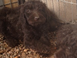 newfypoo3 300x229 August 2014 Newfypoo Puppies For Sale Available in August