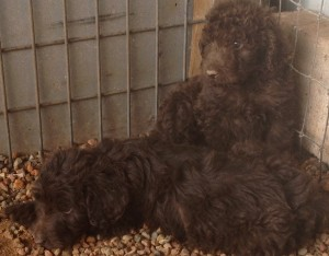 newfypoo5 300x234 August 2014 Newfypoo Puppies For Sale Available in August