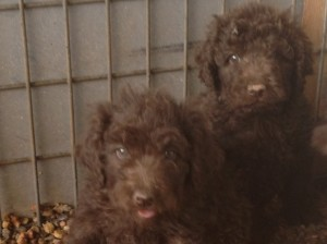 newfypoo6 300x224 August 2014 Newfypoo Puppies For Sale Available in August