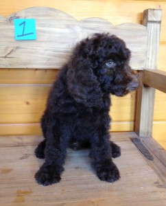 male1 242x300 SOLD Newfypoo Puppies   3 Gorgeous Males  August 25, 2014 SOLD