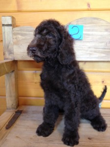 Newfypoo puppy for sale male 2