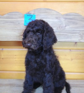 Newfypoo puppy for sale male