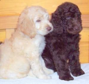 Best Newfypoo Puppies Newfoundland Poodle Mix Call 719 320 7146
