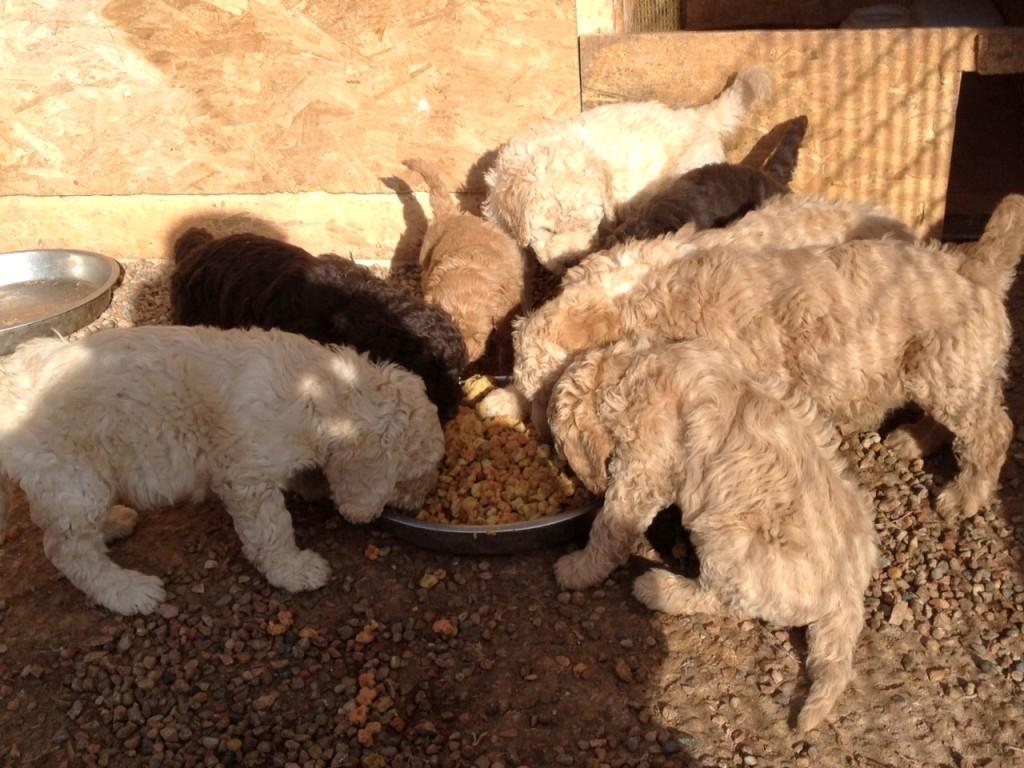 april 2015 golden newfypoo puppies for sale