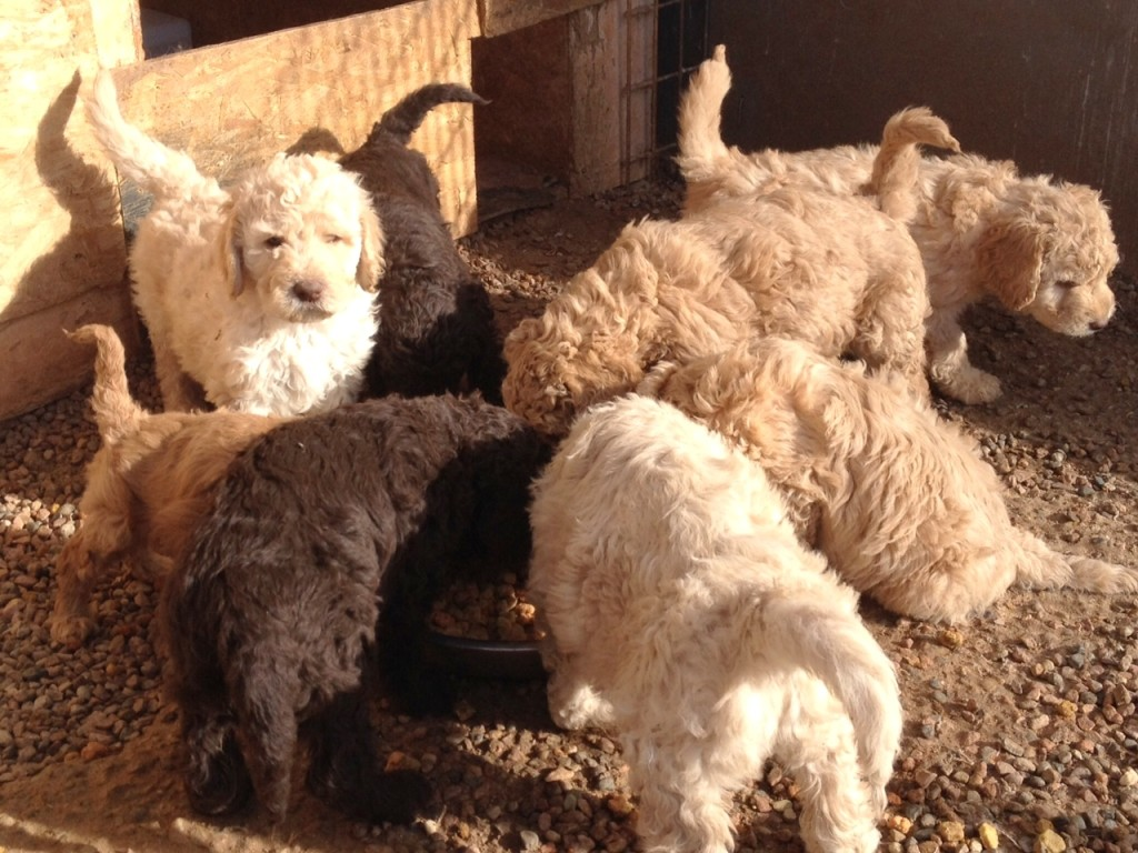 april 2015 newfypoo puppies for sale and available