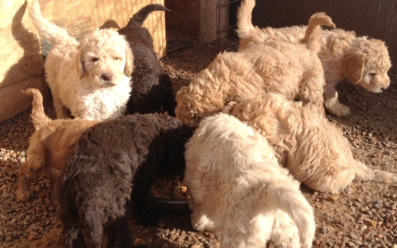 Best Newfypoo Puppies Newfoundland Poodle Mix Call 719