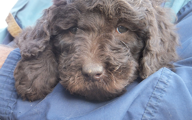 Best Newfypoo Puppies Newfoundland Poodle Mix Call 719
